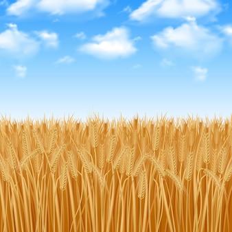 Campo de trigo amarillo dorado y fondo de cielo de verano