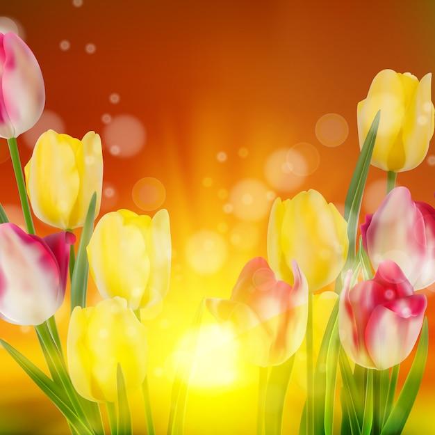 Campo de tulipanes durante la puesta de sol.