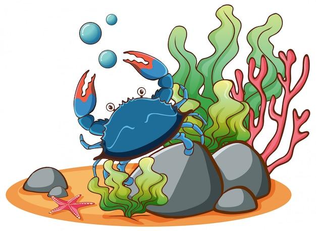 Cangrejo azul bajo el agua sobre fondo blanco