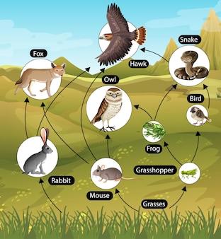 Cartel educativo de biología para diagrama de cadenas alimentarias.