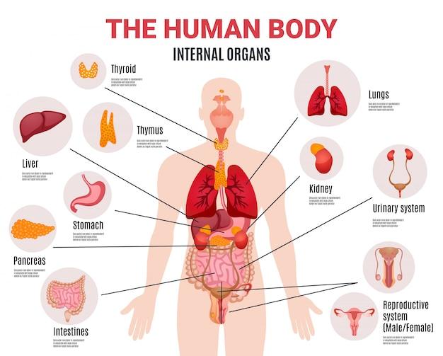 Cartel infográfico de órganos internos humanos