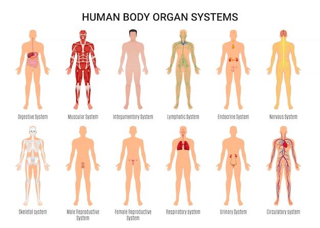 Cartel del personaje de los sistemas de órganos del cuerpo humano