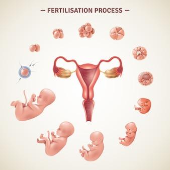 Cartel del proceso de fertilización humana