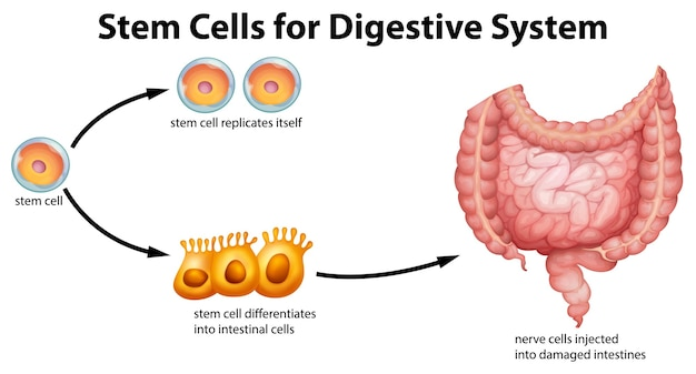 Células madre para el sistema digestivo.