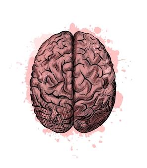 Cerebro humano de un toque de acuarela, dibujo coloreado, realista.
