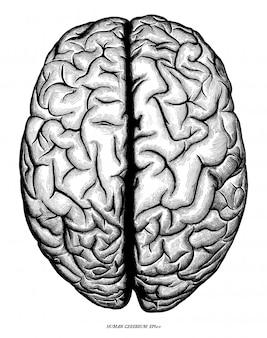 Cerebro humano vista superior mano dibujar grabado vintage aislado sobre fondo blanco.
