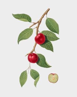 Cereza ciruela de la ilustración de pomona italiana