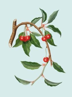 Cereza de la ilustración de pomona italiana
