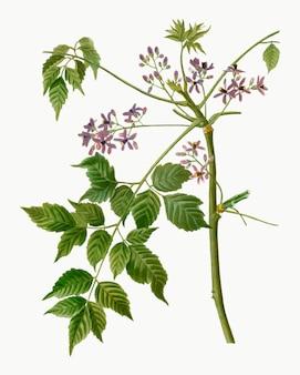 Chinaberry floreciente