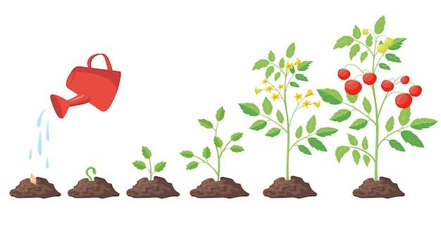 Ciclo de crecimiento de la ilustración de la planta de tomate.