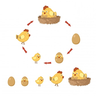 Ciclo de pollo