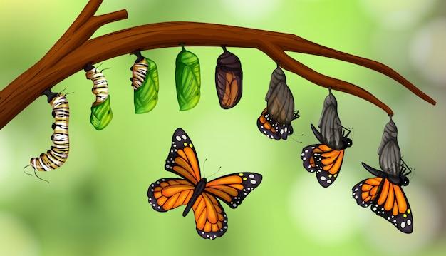Ciclo de vida de mariposa de la ciencia