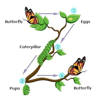 Ciclo de vida de la mariposa.