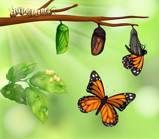 Un ciclo de vida de las mariposas