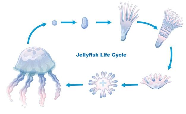 Ciclo de vida de las medusas para la educación de los niños