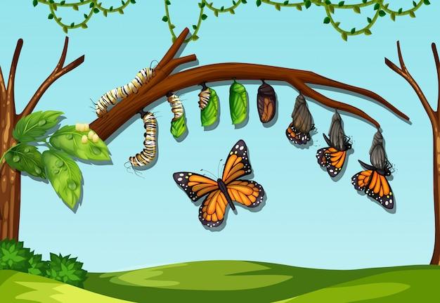 Un ciclo de vida de la mosca de la mantequilla.