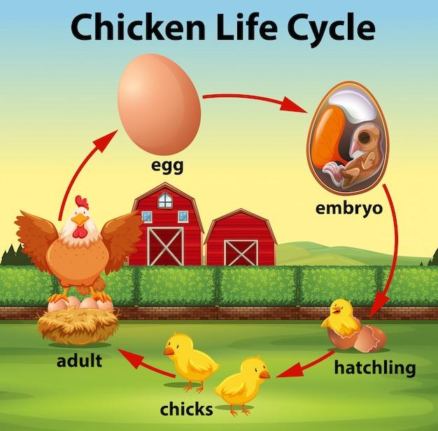 Ciclo de vida del pollo ciencia