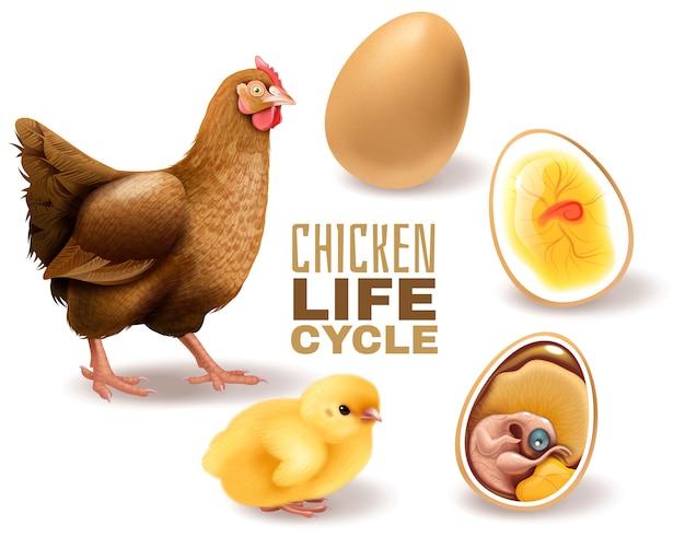 El ciclo de vida del pollo presenta una composición realista desde el desarrollo del embrión de huevo fértil hasta la gallina adulta