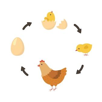 Ciclo de vida del pollo.