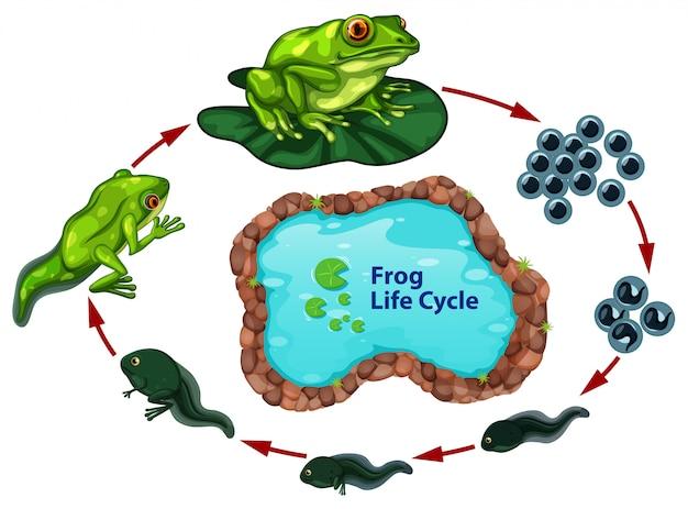 El ciclo de vida de la rana