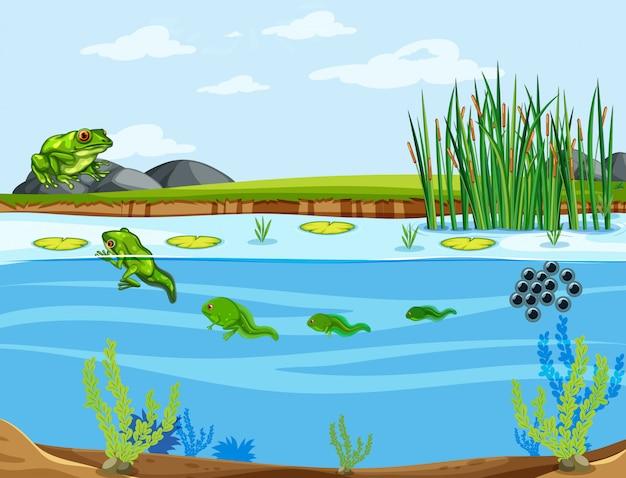 Un ciclo de vida de la rana.