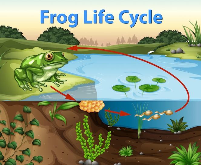 Ciencia del ciclo de vida de la rana