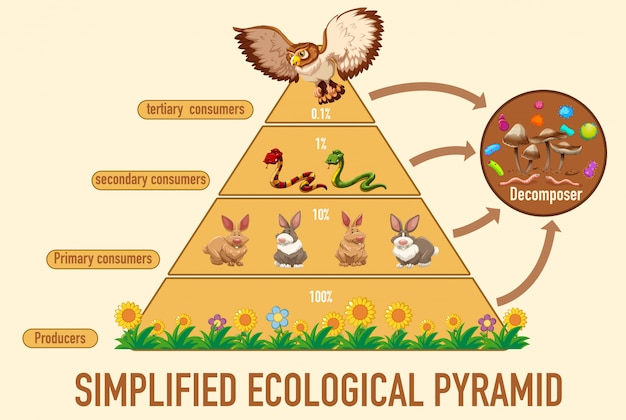 Ciencia pirámide ecológica simplificada