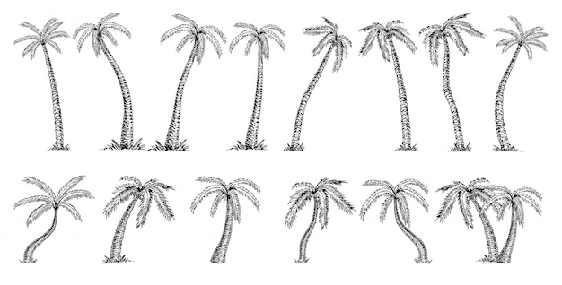 Cocotero cocos nucifera. bosquejo de gran conjunto de palmeras sobre fondo blanco