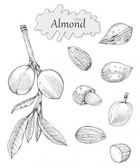 Colección de almendras estilo vintage dibujo a mano. estilo de dibujo grabado