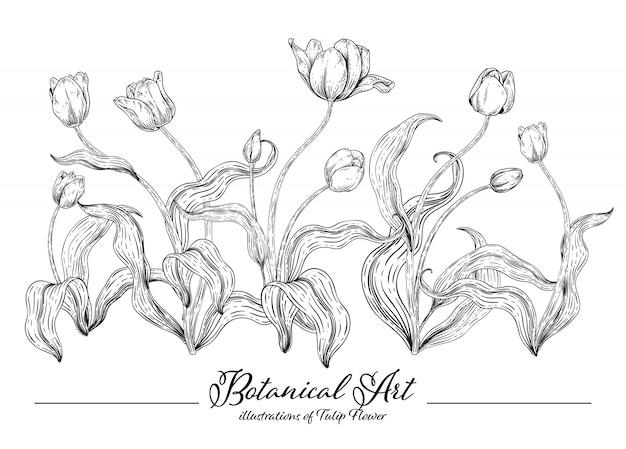 Colección de la botánica floral sketch, dibujos de flores de tulipán