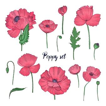 Colección de elegantes dibujos botánicos detallados de flores silvestres de amapola rosa