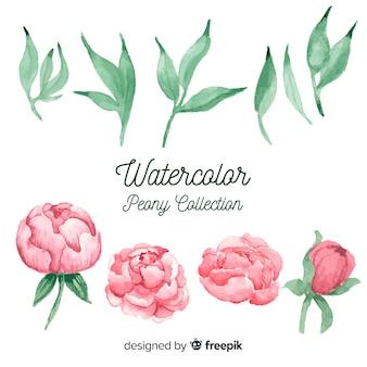 Colección de hermosas flores peonía en estilo de acuarela
