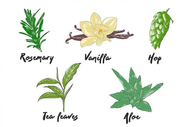 Colección de hierbas y especias de estilo grabado de vector