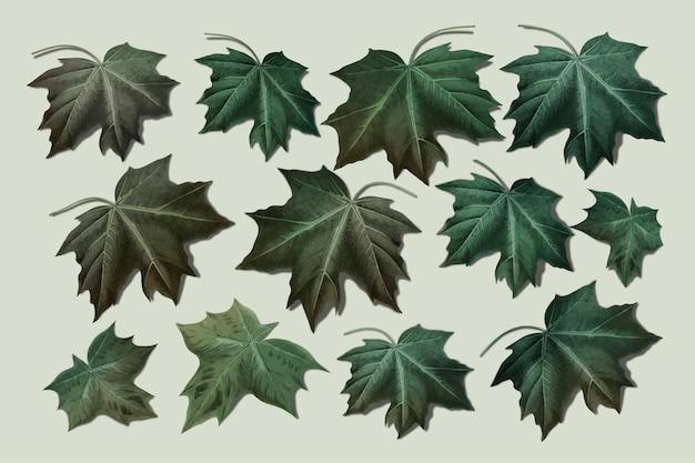 Colección de hojas de arce verde dibujadas a mano