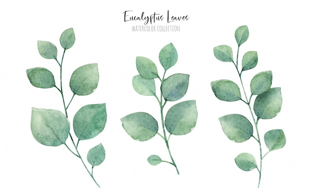 Colección de hojas de eucalipto acuarela, elementos florales verdes