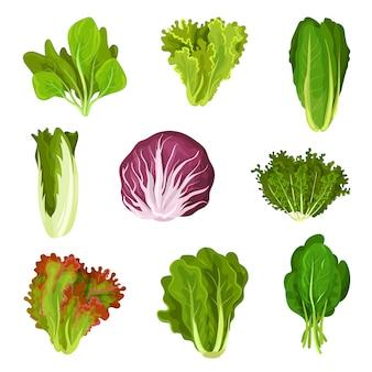 Colección de hojas frescas de ensalada, achicoria, lechuga, lechuga romana, col rizada, col, acedera, espinacas, mizuna, comida vegetariana orgánica saludable ilustración