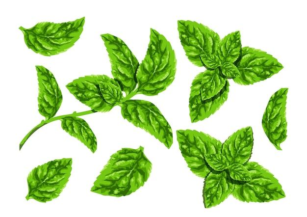 Colección de hojas de menta