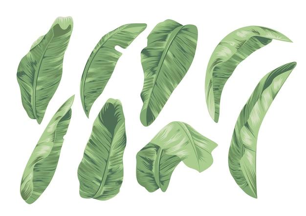 Colección de hojas de plátano