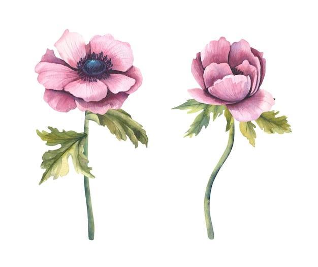 Colección de ilustración floral acuarela - flores anémonas.