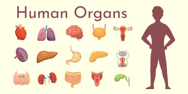 Colección de órganos internos en estilo de dibujos animados. anatomía del cuerpo humano.