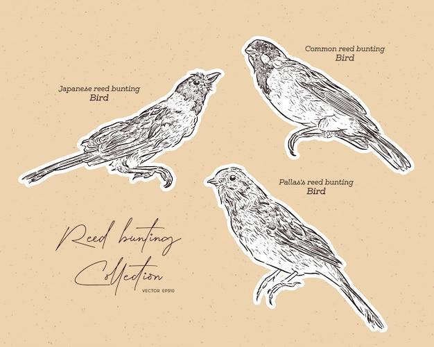 Colección de pájaros del empavesado, bosquejo de dibujar a mano