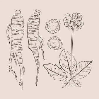 Colección de plantas de ginseng dibujado a mano realista