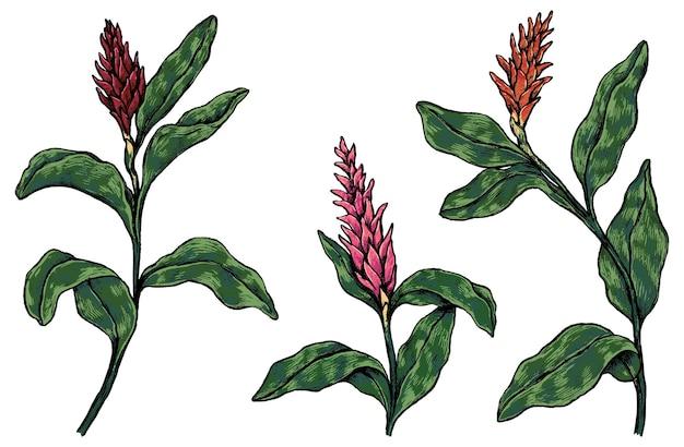 Colección de plantas tropicales. conjunto de flores de jengibre. bocetos botánicos vintage aislados en blanco. ilustración de vector dibujado a mano. elementos de colores para el diseño, la decoración.