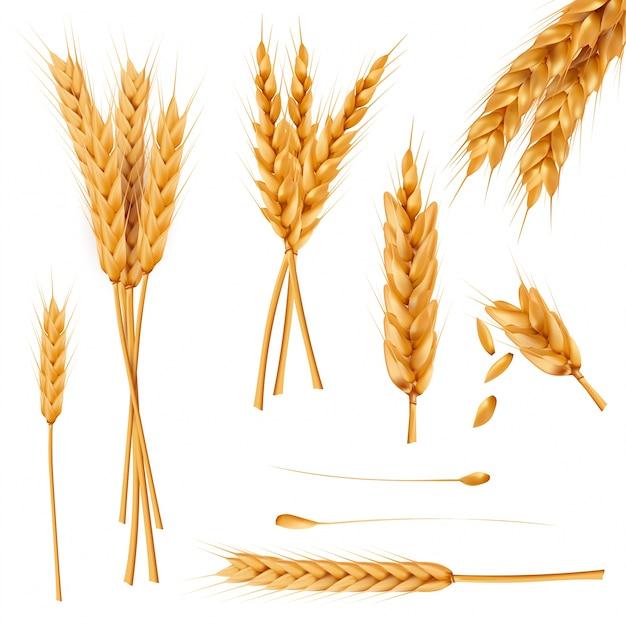 Colección realista de vectores de orejas y semillas de trigo