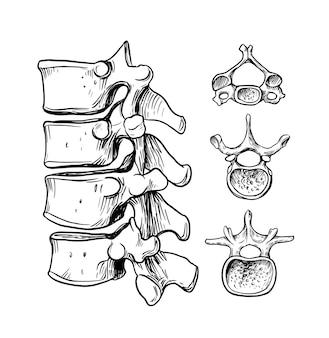 Columna vertebral humana. la estructura de la vértebra cervical, torácica y lumbar.