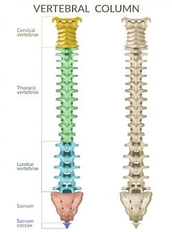 La columna vertebral.