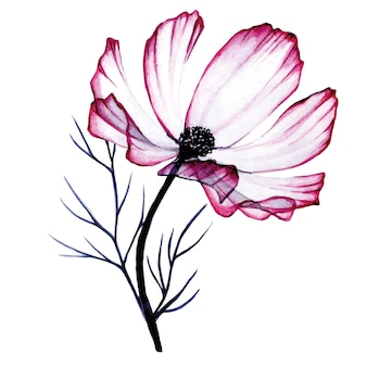 Composición de acuarela de flores de manzanilla rosa transparente aislado en blanco