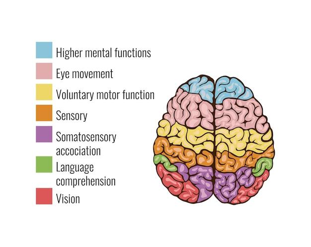 Composición infográfica del sistema mental del área de función de la anatomía del cerebro humano con teclas de leyenda de texto y áreas coloridas