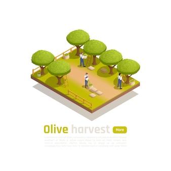Composición isométrica de producción tradicional de aceite de oliva orgánico con trabajadores agrícolas recogiendo fruta madura a mano banner
