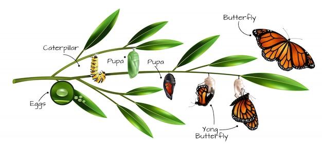Composición de metamorfosis de mariposa